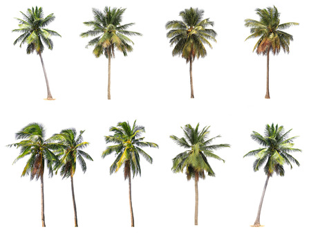 palm tree fruit: Difference of coconut tree isolated on white.