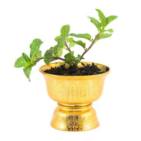 Fresh mint herb in pot. photo
