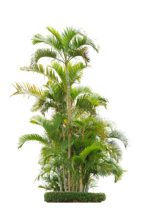 group of betel palm trees isolated on white background. Banco de Imagens
