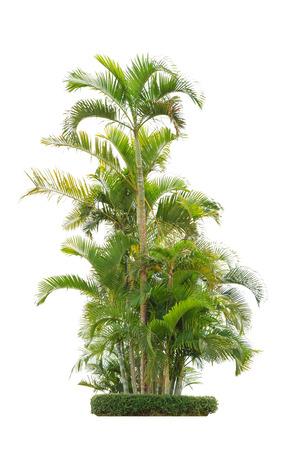 bark of palm tree: group of betel palm trees isolated on white background. Stock Photo