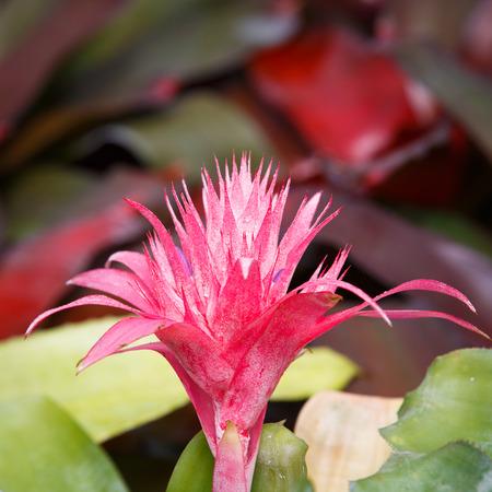 aechmea: Closeup of Aechmea ramosa (Silver vase bromeliad), Pineapple flowers. Stock Photo