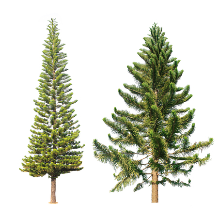 Two pine tree isolated on a white background. Banco de Imagens