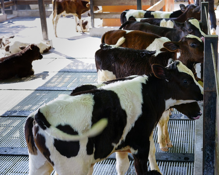 penned: Group of identical calves standing together in farm.