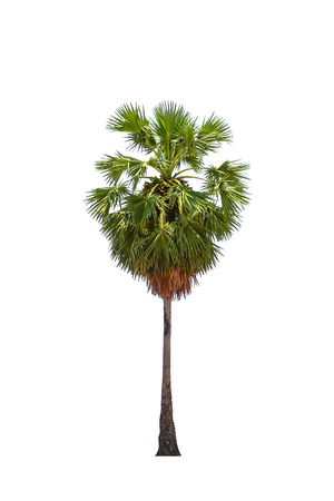 asian palmyra palm: borassus flabellifer ( asian palmyra palm, toddy palm, sugar palm, or cambodian palm) tropical tree, isolated on white background.