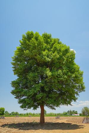 tropical tree: Irvingia malayana tambi�n conocido como Wild almendra, �rbol tropical en el noreste de Tailandia.