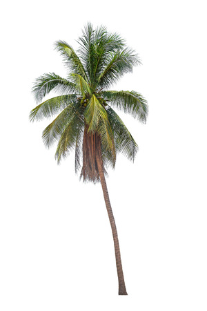Kokospalmen op een witte achtergrond Stockfoto - 40397478