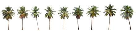 albero da frutto: Differenza di albero di cocco isolato su bianco