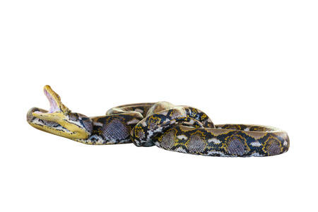 boa: Common Northern Boa, Boa constrictor imperator, imperator is the color, against white background.