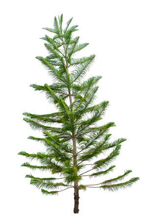 Fir tree isolated on white background.