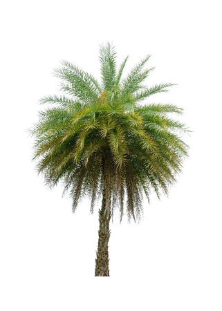 Palm tree isolated on white background.