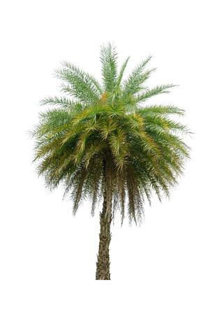 Palme isolated on white Background. Standard-Bild - 41198321