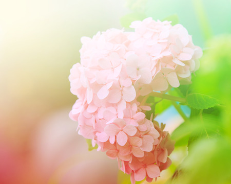 hydrangea macrophylla: Hydrangea common names hydrangea or hortensia (Hydrangea macrophylla). Stock Photo