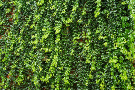 ivy wall: Wall Covered With Ivy.