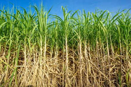 Sugar cane with blue sky. Archivio Fotografico
