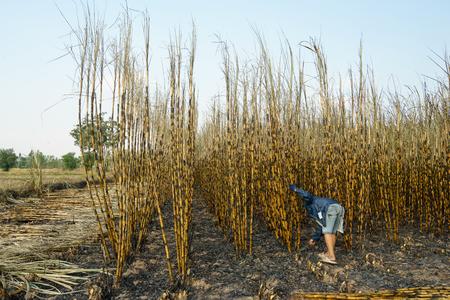 sugarcane: Sugarcane field burning in Thailand. Stock Photo