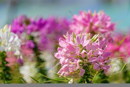 Close up of beautiful Cleome Spinosa.