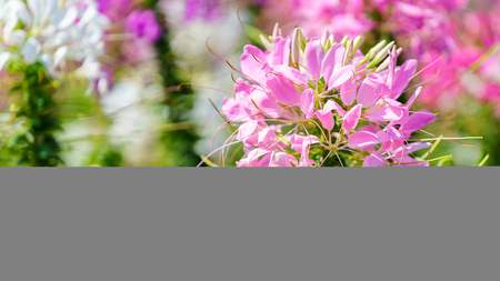 Close up of beautiful Cleome Spinosa