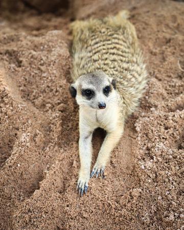 Meerkat in open zoo of Thailand Stock Photo
