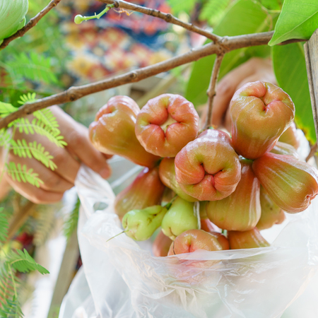 plastic bags: Rose apple wrapped in plastic bags to prevent the insects