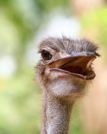 inquiring: Ostrich head closeup Stock Photo