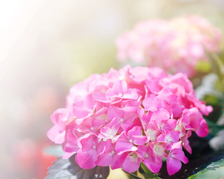 asterids: Hydrangea common names hydrangea or hortensia (Hydrangea macrophylla) Stock Photo