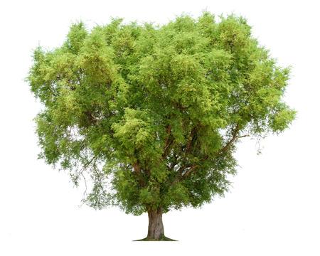 白い背景に分離されたタイの北東部でタマリンド ツリー (タマリンド インディカ) 熱帯木。 写真素材 - 83522100