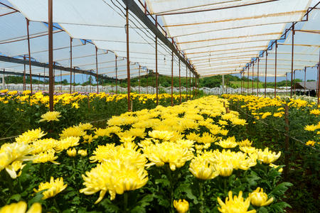 Greenhouse with yellow chrysanthemums. Foto de archivo