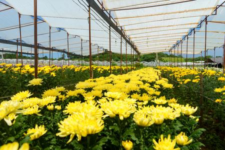 Serre met gele chrysanten. Stockfoto