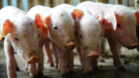 Small pigs in the farm. Stock Photo