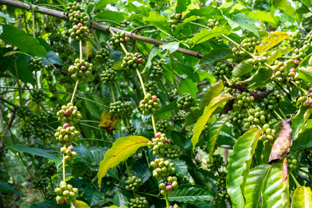 Green Coffee beans on a coffee tree.