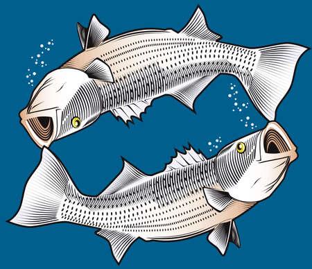 spigola: Doppia Striped Bass Vettoriali