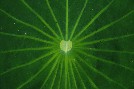 nelumbo nucifera leaf photo