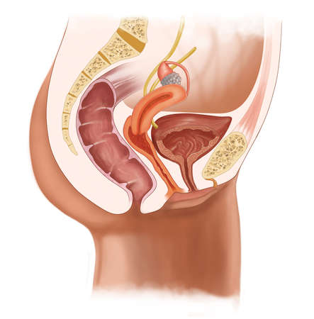 female urinary system Stock Photo