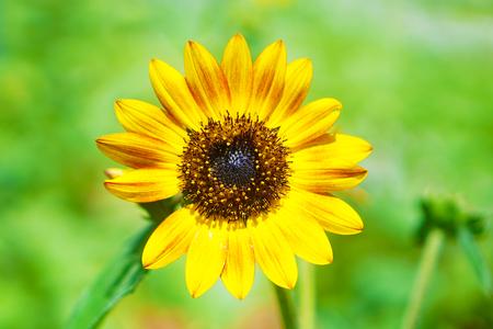 Sun flower: Sun flower Lizenzfreie Bilder