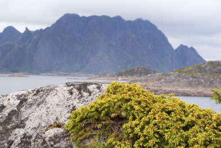 Plant on a stone. Lofoten Islands in the north of Norway. Stock Photo