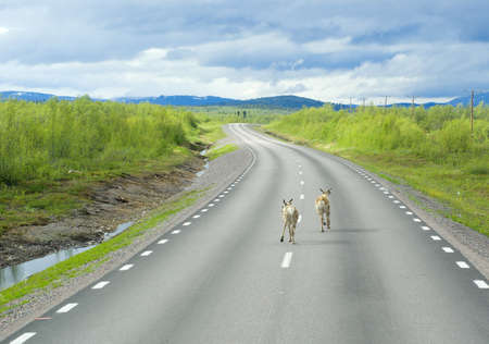 Deer running on the way of Lapland Stock Photo