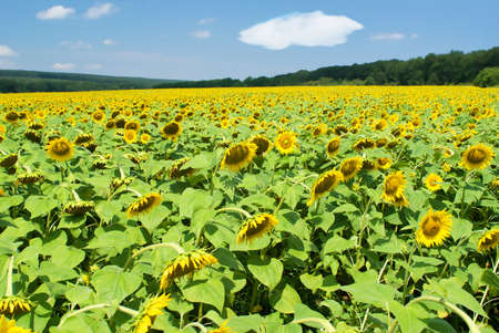 Field of sunflowers in a summer sunny day Stock Photo - 7505554