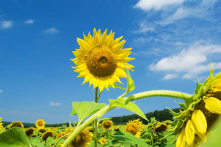 Sunflower against the blue sky with clouds Stock Photo - 7505553