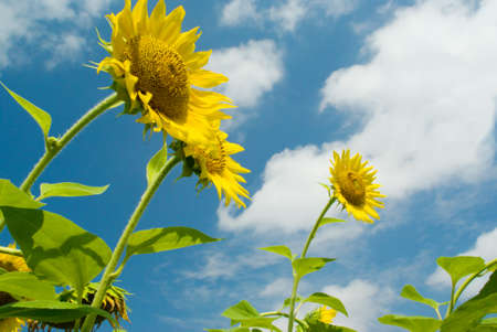 Three sunflowers against the sky with clouds photo