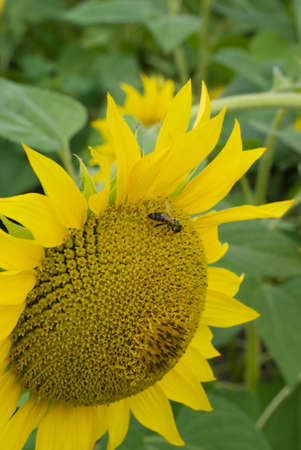 Bee on a sunflower in a sunny day Stock Photo - 7505568
