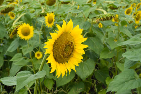 Field of sunflowers in a summer sunny day Stock Photo - 7505569