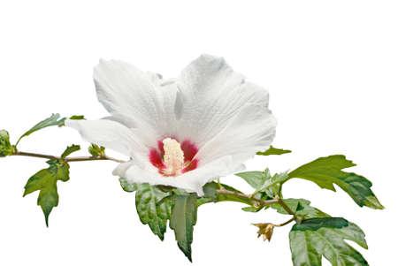 Fleur blanche isol�e sur le fond blanc