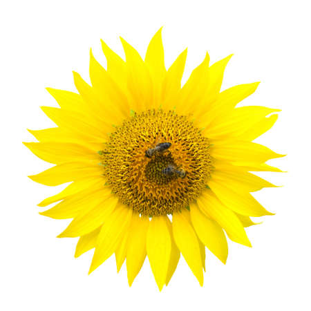 Two bees on a sunflower. Object on the white background. Stock Photo - 7552074