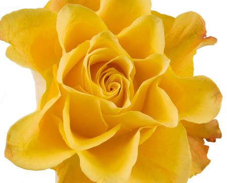 Clouse place de rose jaune sur le blanc.