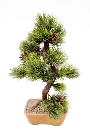 dwarfish: Dwarfish pine is art bonsai