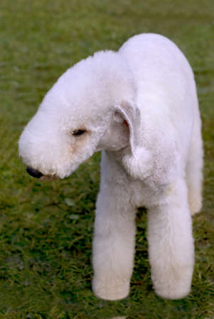 kerry blue terrier: Dog of breed Kerry Blue Terrier on the green grass
