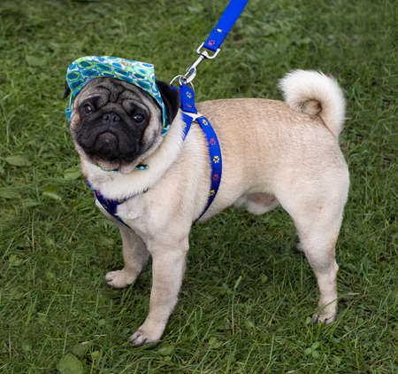 Pug with a cap and blue collar Stock Photo