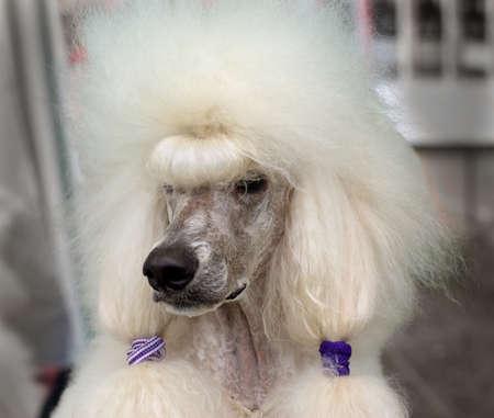 White royal poodle Stock Photo - 9517050