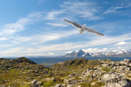 Gull over the Norwegian island