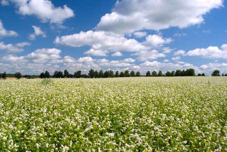Meadow avec des fleurs blanches sur une journ�e ensoleill�e